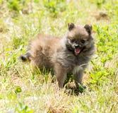 Cucciolo dello spitz di Pomeranian Fotografie Stock
