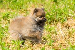 Cucciolo dello spitz di Pomeranian Immagini Stock