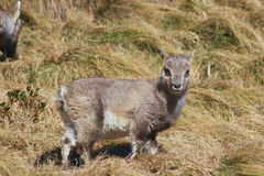 Cucciolo dello stambecco delle Alpi Capra ibex alpino dello stambecco Immagini Stock Libere da Diritti