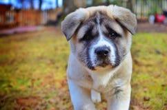 Cucciolo di Akita Fotografia Stock