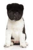 Cucciolo di akita dell'americano Fotografia Stock Libera da Diritti