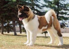 Cucciolo di akita dell'americano Fotografia Stock
