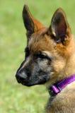 Cucciolo di Alsation Fotografia Stock