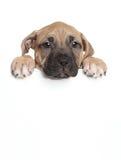 Cucciolo di Amstaff sopra l'insegna Fotografia Stock Libera da Diritti