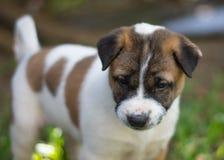 Cucciolo di Bangkaew, cane immagine stock libera da diritti