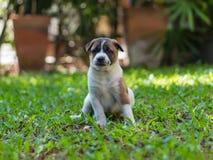 Cucciolo di Bangkaew, cane fotografie stock libere da diritti