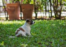 Cucciolo di Bangkaew, cane immagine stock