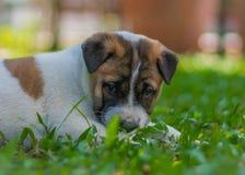 Cucciolo di Bangkaew, cane fotografia stock libera da diritti