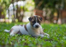 Cucciolo di Bangkaew, cane fotografia stock