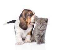 Cucciolo di basset hound che bacia gattino minuscolo Isolato su bianco fotografie stock