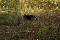 Cucciolo di basset hound per una passeggiata L'immagine è stata contenuta la sera di giorno e calda di autunno immagini stock libere da diritti