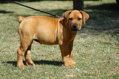 Cucciolo di Boerboel Fotografia Stock