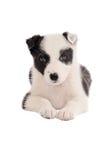 Cucciolo di border collie Fotografie Stock