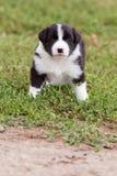 Cucciolo di border collie che gioca fuori sull'azienda agricola Fotografie Stock