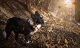 Cucciolo di border collie che gioca nelle foglie di autunno Fotografia Stock