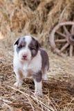 Cucciolo di border collie con l'agnello Immagine Stock Libera da Diritti