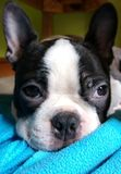 Cucciolo di Boston Terrier Fotografie Stock