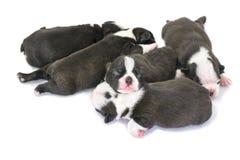 Cucciolo di Boston Terrier su un fondo bianco Fotografia Stock Libera da Diritti