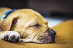 Cucciolo di Brown che dorme sul tappeto Immagini Stock