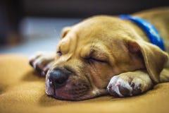 Cucciolo di Brown che dorme sul tappeto Immagine Stock Libera da Diritti