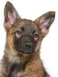 Cucciolo di Brown che si siede sul fondo bianco fotografie stock libere da diritti