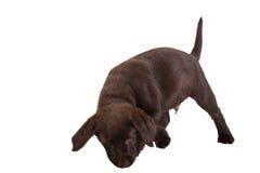 Cucciolo di Brown labrador retriever Immagini Stock Libere da Diritti