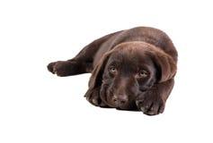 Cucciolo di Brown labrador retriever Fotografia Stock Libera da Diritti