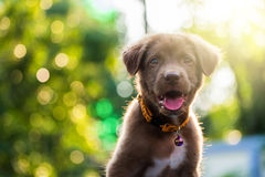 Cucciolo di Brown labrador retriever al tramonto Fotografie Stock Libere da Diritti