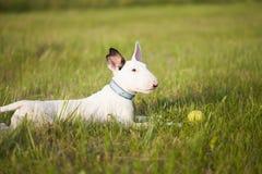 Cucciolo di bull terrier che gioca nell'erba Fotografia Stock