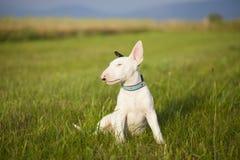 Cucciolo di bull terrier che gioca nell'erba Fotografie Stock