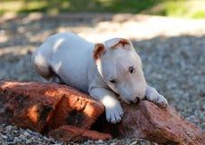 Cucciolo di bull terrier che mastica su una roccia Fotografia Stock