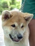 Cucciolo di cane Fotografie Stock Libere da Diritti
