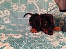 Cucciolo di cane Immagini Stock Libere da Diritti