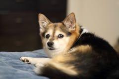 Cucciolo di cane Fotografia Stock
