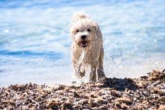 Cucciolo di cane bagnato sulla spiaggia Immagini Stock