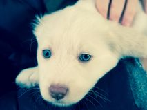 Cucciolo di cane bianco di Maremma con gli occhi azzurri Fotografie Stock