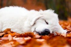 Cucciolo di cane bianco sveglio che dorme in foglie Fotografia Stock Libera da Diritti