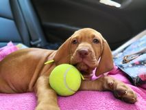 Cucciolo di cane che gioca con una pallina da tennis immagini stock libere da diritti