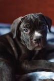 Cucciolo di Cane Corso, cane molto astuto Immagini Stock