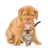 Cucciolo di cane del Bordeaux e gattino del Bengala insieme Isolato su bianco Fotografia Stock
