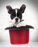 Cucciolo di cane del bulldog francese in un cappello rosso di manifestazione Fotografia Stock