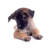 Cucciolo di cane del cioccolato Fotografia Stock Libera da Diritti