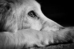 Cucciolo di cane del cocker Fotografia Stock