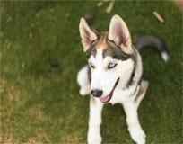 Cucciolo di cane del husky fotografie stock libere da diritti
