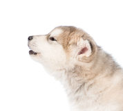 Cucciolo di cane del malamute d'Alasca di urlo nel profilo Isolato su bianco Immagini Stock