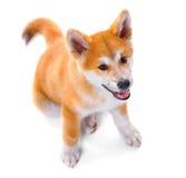 Cucciolo di cane del purosangue di Akita Inu Inu di Shiba Fotografie Stock
