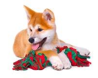 Cucciolo di cane del purosangue di Akita Inu Inu di Shiba Fotografia Stock