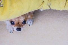 Cucciolo di cane della chihuahua Immagini Stock