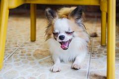 Cucciolo di cane della chihuahua Immagini Stock Libere da Diritti