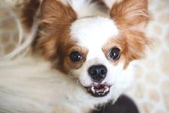 Cucciolo di cane della chihuahua Immagine Stock Libera da Diritti